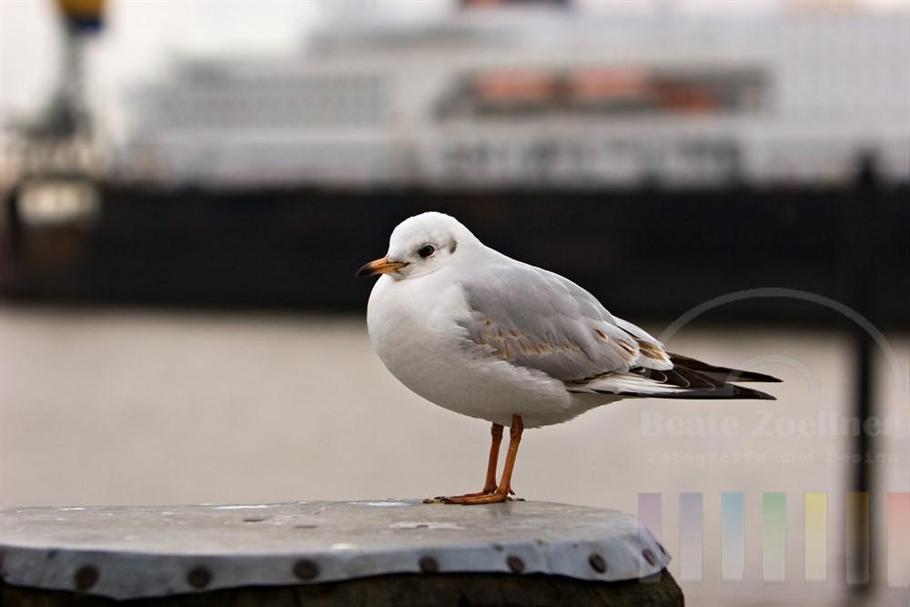 Möwe sitzt auf Duckdalben und schaut ohne Scheu in die Kamera, im Hintergrund liegt ein Kreuzfahrtschiff bei der Werft Blohm & Voss im Dock. Der Vogel plustert sein Gefieder gegen die winterliche Kälte auf