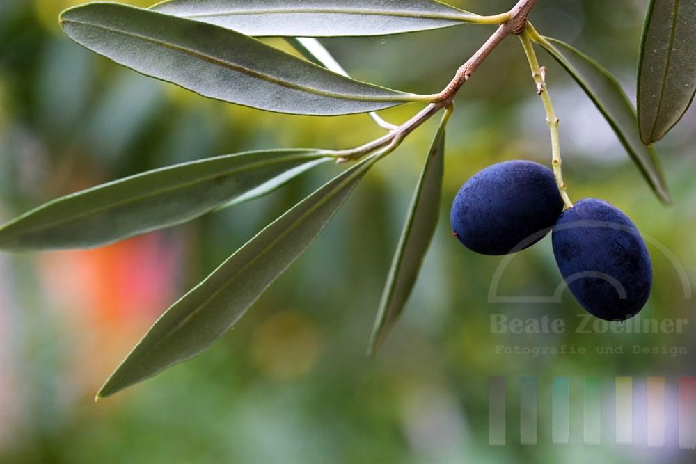 Blaue Oliven am Zweig mit Blättern