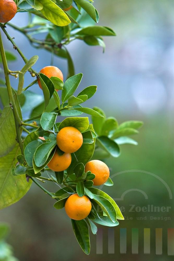 Mandarinen hängen am Zweig