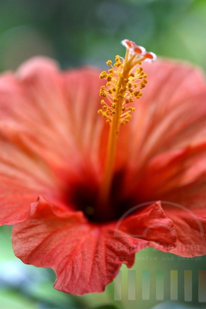 Hochformat, Makro: blassrote Hibiskusblüte vor gruenem Hintergrund