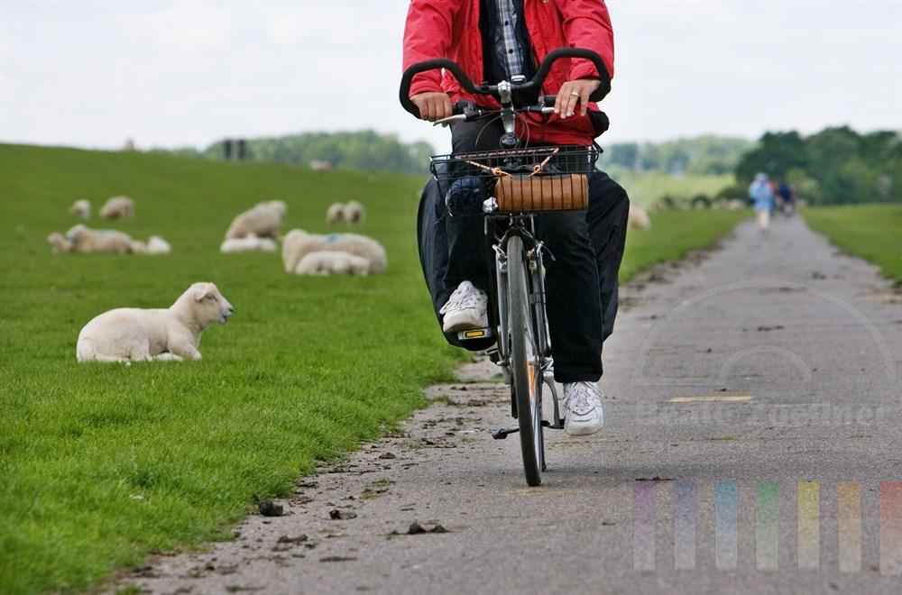 Mann fährt auf seinem Fahrrad am Deich entlang, Schäfe und Lämmer schauen unbeteiligt