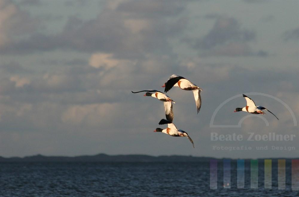 Vier Brandgaense fliegen von rechts ueber das Meer in die Tiefe des Bildes. Das Abendlicht laesst ihr weiss-buntes Gefieder leuchten. Unter den Voegeln das blaue Wattenmeer vor Sylt, am blauen Himmel Wolken. Im Hintergrund ist eine Duenenkette schemenhaft zu erkennen.