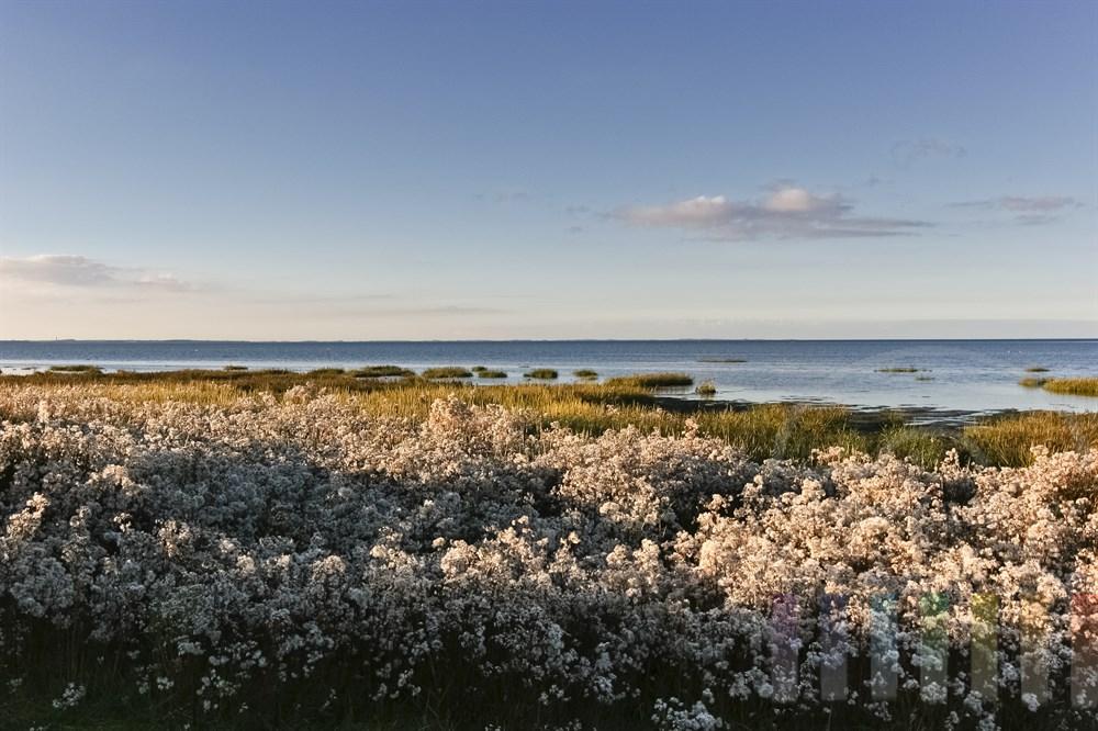 Blick ueber bluehende Salzwiesen am Ufer des Wattenmeeres vor dem Morsumkliff auf Sylt, herbstlich-sonnig