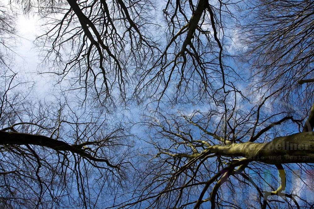 Blick vom Waldboden in die noch kahlen Baumkronen und blauen Himmel, die Baeume treiben aber schon wieder aus