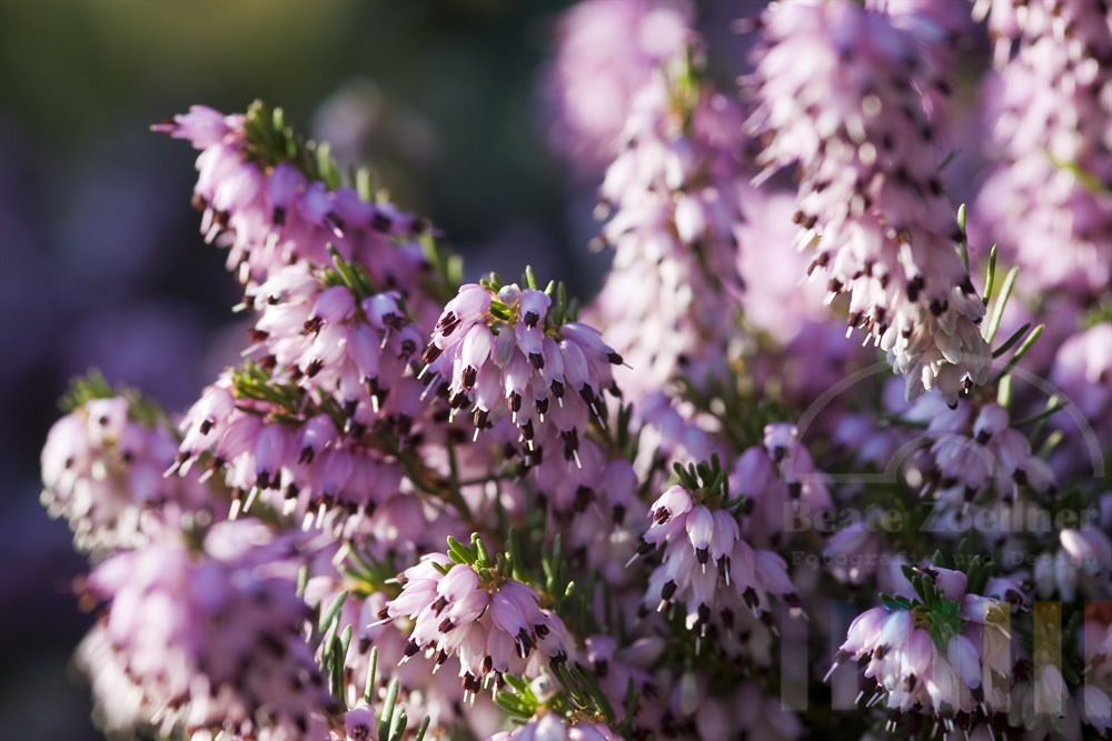 blühende Frühlingsheide (Erica carnea)