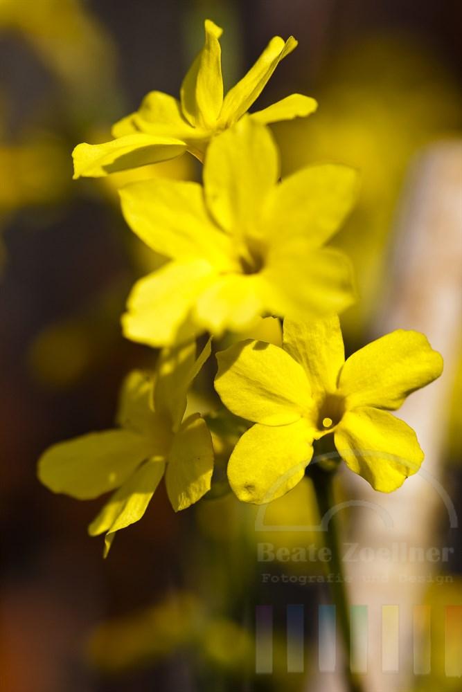Bluehender Winterjasmin (Jasminum nudiflorum) im Sonnenlicht