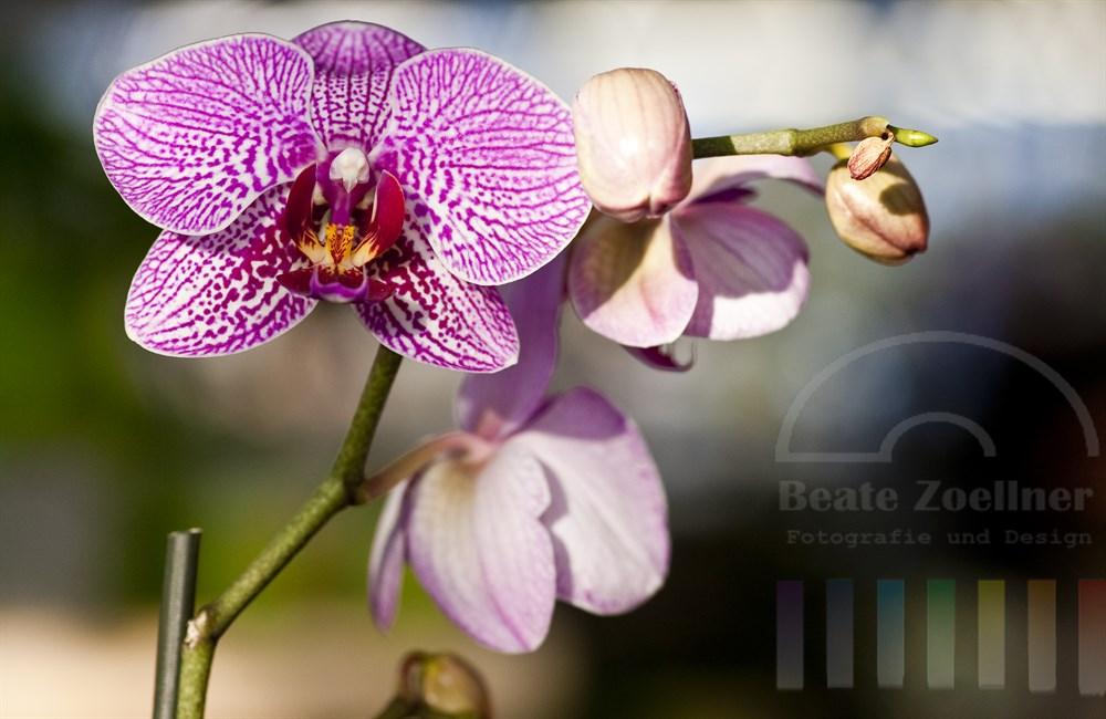 pinkfarben gemusterte  Orchidee (phalaenopsis hybrid)