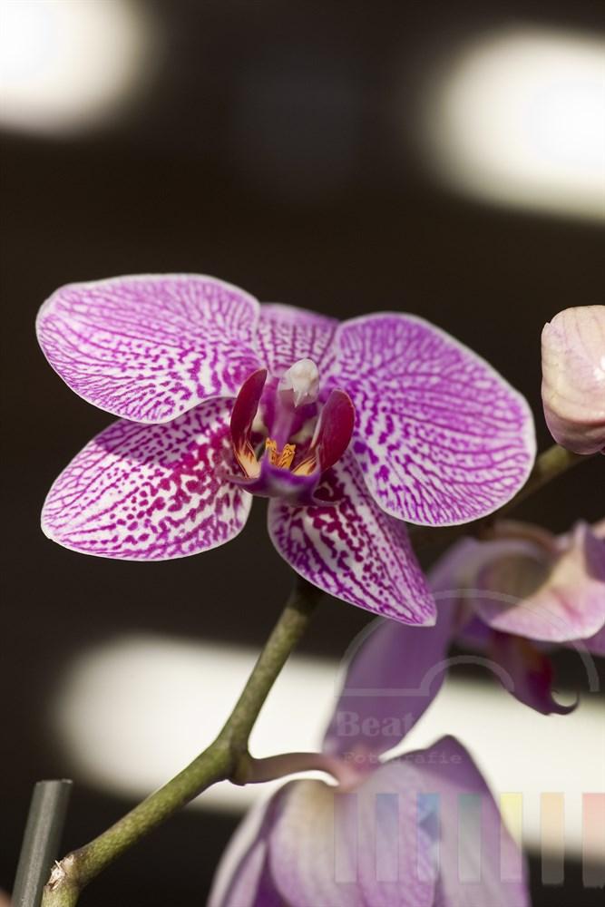 Makro: pinkfarben gemusterte Orchideenbluete Orchidee (phalaenopsis hybrid)