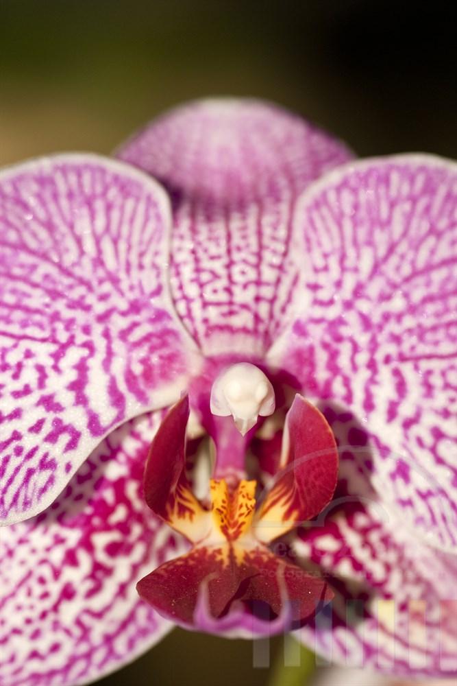 Makro: pinkfarbene Orchideenbluete Orchidee (phalaenopsis hybrid)