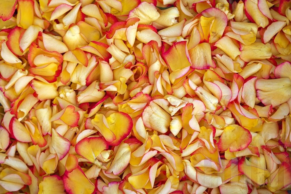 Formatfuellend: Hunderte von gelb-rosa Rosenbluetenblaettern