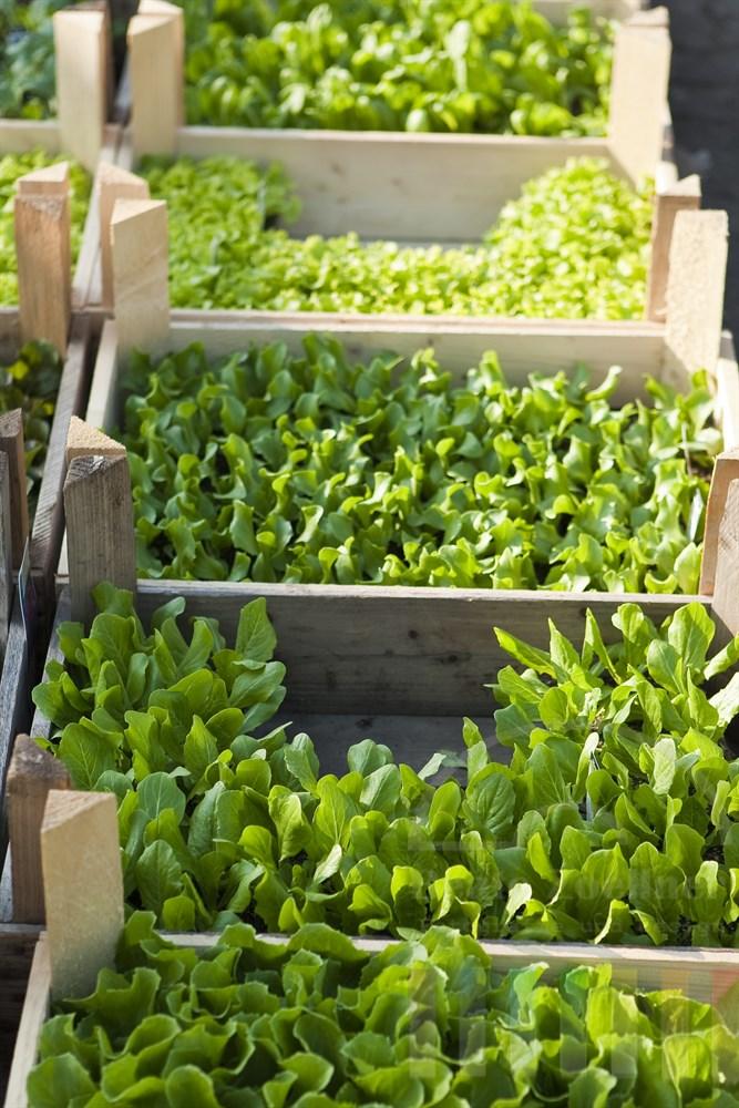 Obstkisten mit Salat- und Gemüse-Setzlingen