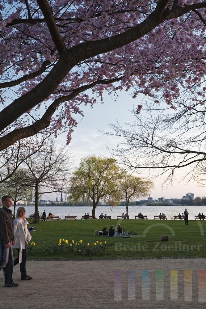 Lauer Frühlingsabend an der Hamburger Aussenalster: Paare spazieren oder sitzen auf den Parkbänken am Alsterufer unter blühenden Kirschbäumen