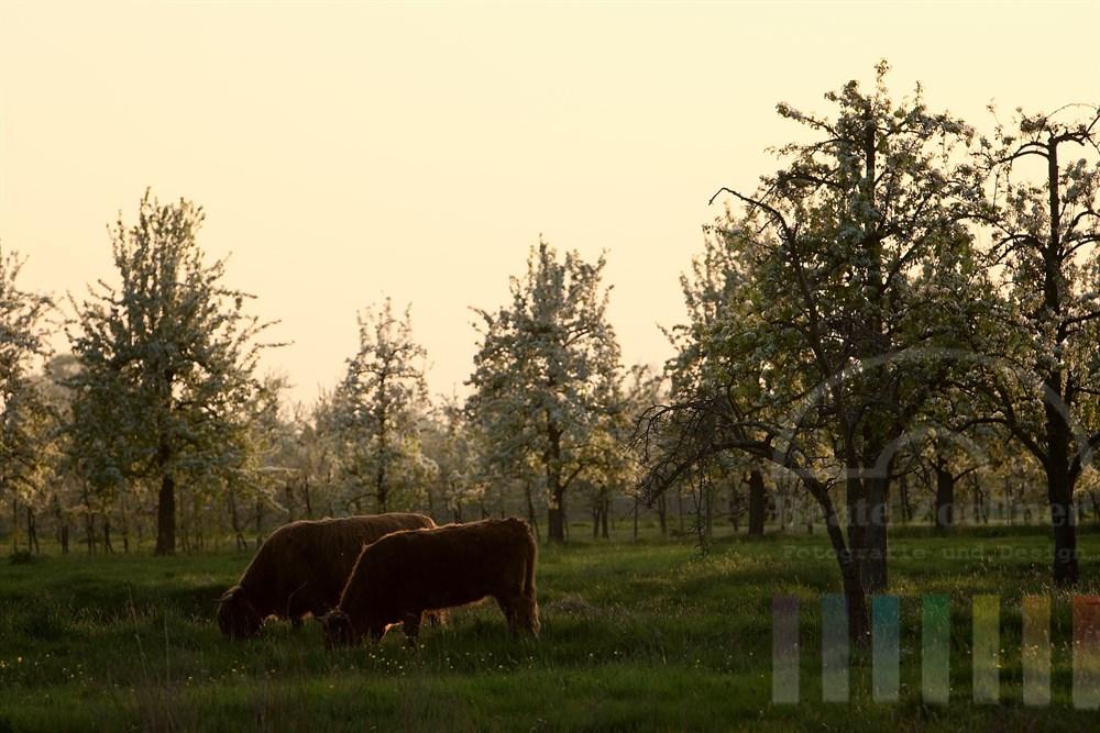 Abendstimmung: Obstbaumblüte in Hamburg-Finkenwerder im Gegenlicht. Auf der Plantage grasen schottische Highland-Rinder