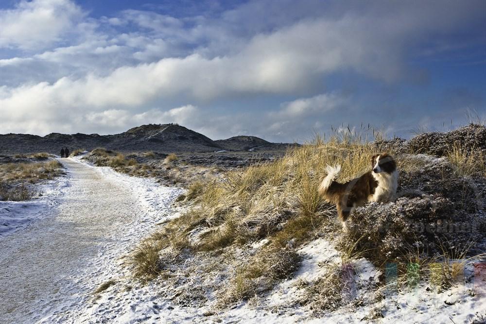 """Spaziergang mit Hund auf verschneitem Weg durch Dünen- und Heidelandschaft zur Aussichtsplattform """"Uwe-Düne"""", der höchsten natürliche, Erhebung auf der Nordsee-Insel Sylt - sonnig"""