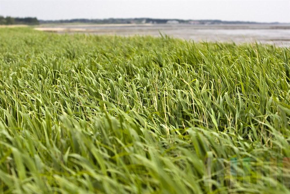 Wind fegt über Schilfgürtel am Ufer des Wattenmeeres auf der Insel Sylt, Himmel bedeckt. Im Hintergrund die Ortschaft Munkmarsch