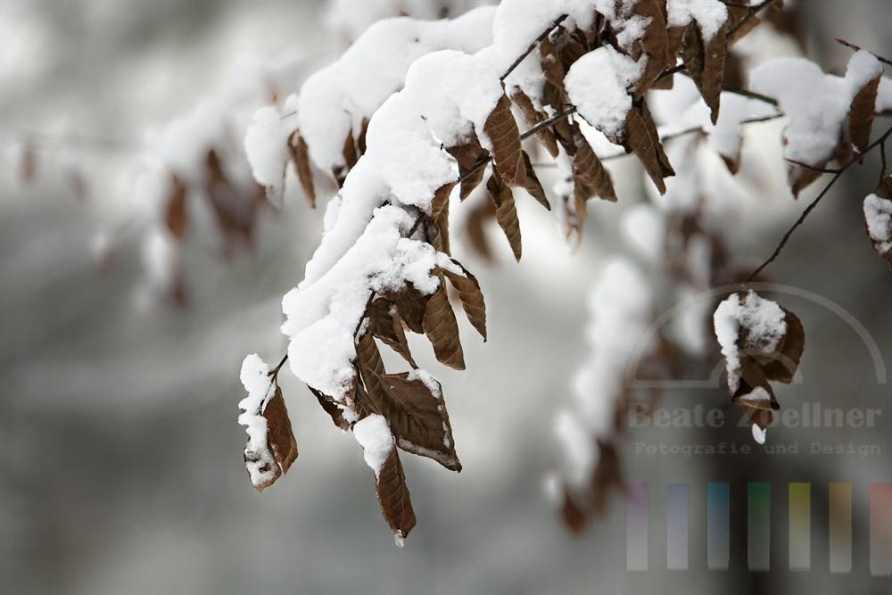 Buchenzweig biegt sich unter der Schneelast