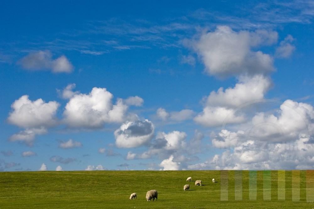 Schafe grasen auf Deich, über ihnen blauer Himmel mit Schäfchenwolken