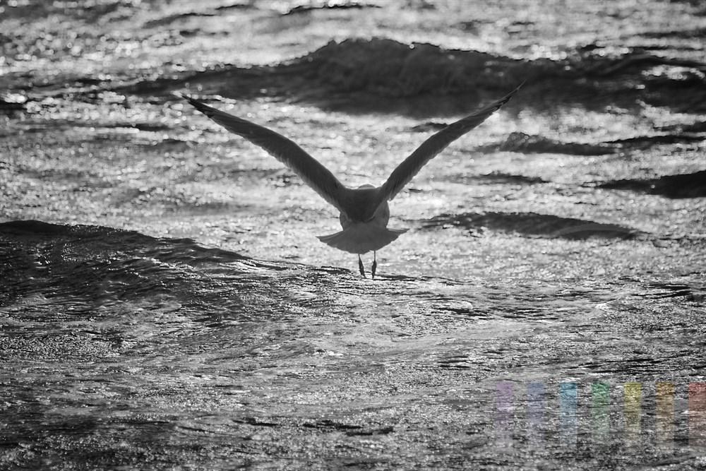 Fliegende Moewe ueber der Nordsee-Brandung vor der Insel Sylt, schwarz-weiss