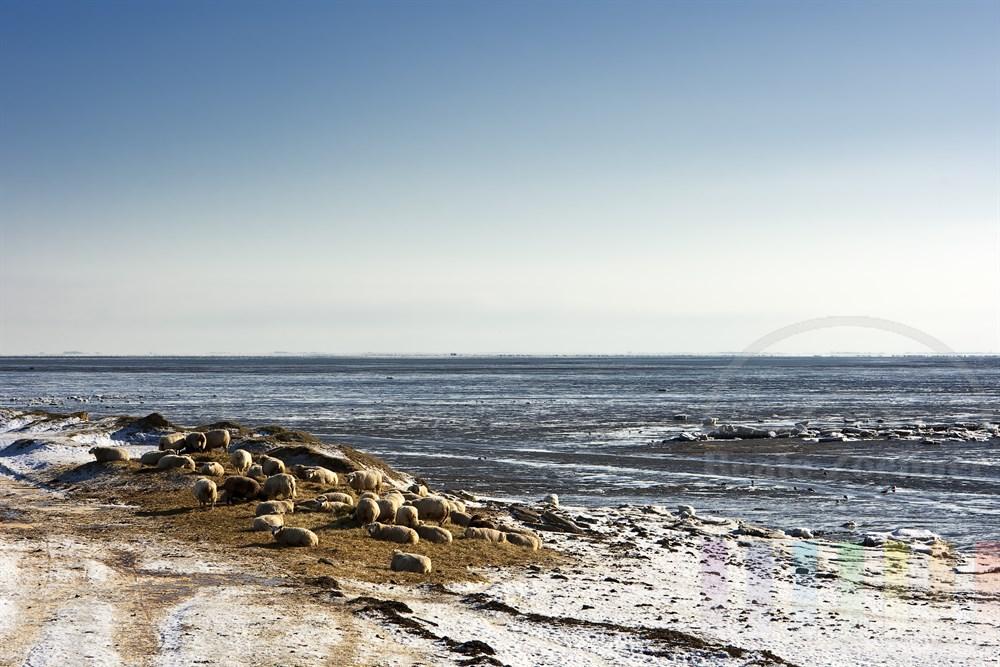 Blick über das vereiste Wattenmeer vvor Rantum/Sylt. Im Vordergrund liegen Schafe an ihrer Futterstelle, sonnig