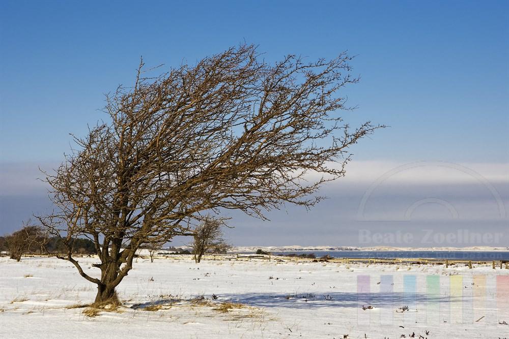 windschiefer Baum in der verschneiten Braderuper Heide auf der Insel Sylt, sonnig