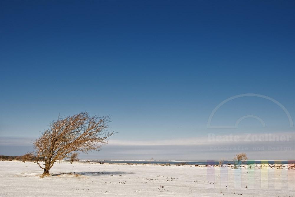 windschiefer Baum in Sylter Winterlandschaft
