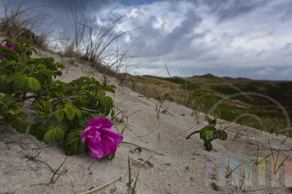 blühende Wildrose in Sylter Dünenlandschaft nach einem Regenschauer