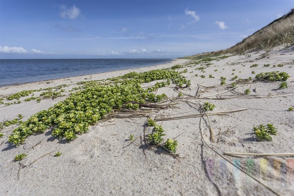 bluehende Salzmiere (Honckenya peploides) am Strand der Sylter Ostküste (Wattseite), sonnig. Die Pflanze wird auch Strandportulak genannt, ist reich an Vitaminen und essbar