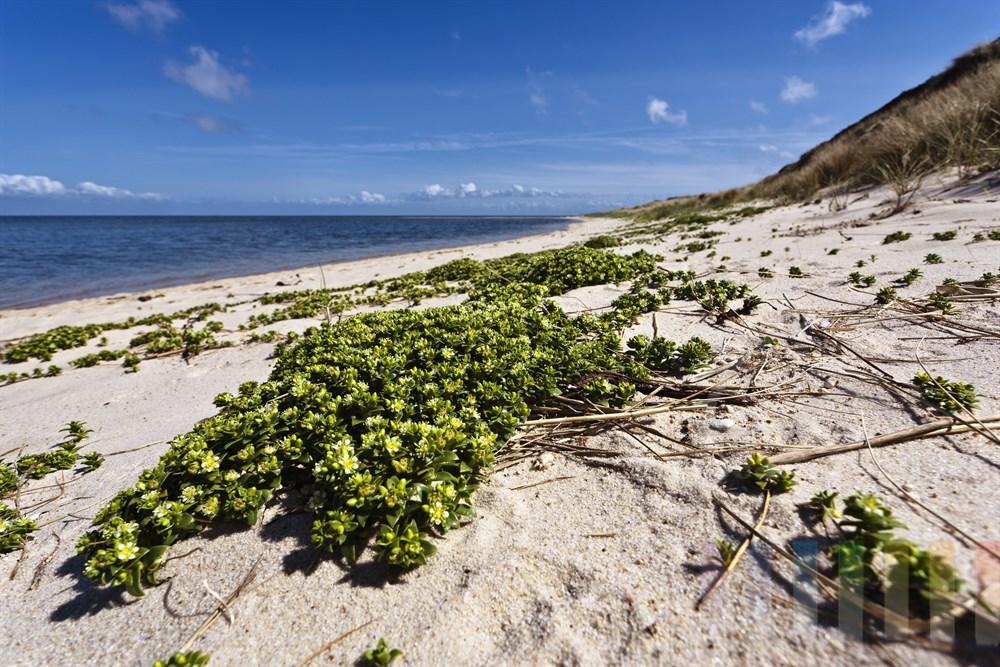 bluehende Salzmiere (Honckenya peploides) am Strand der Sylter Ostkueste (Wattseite), sonnig