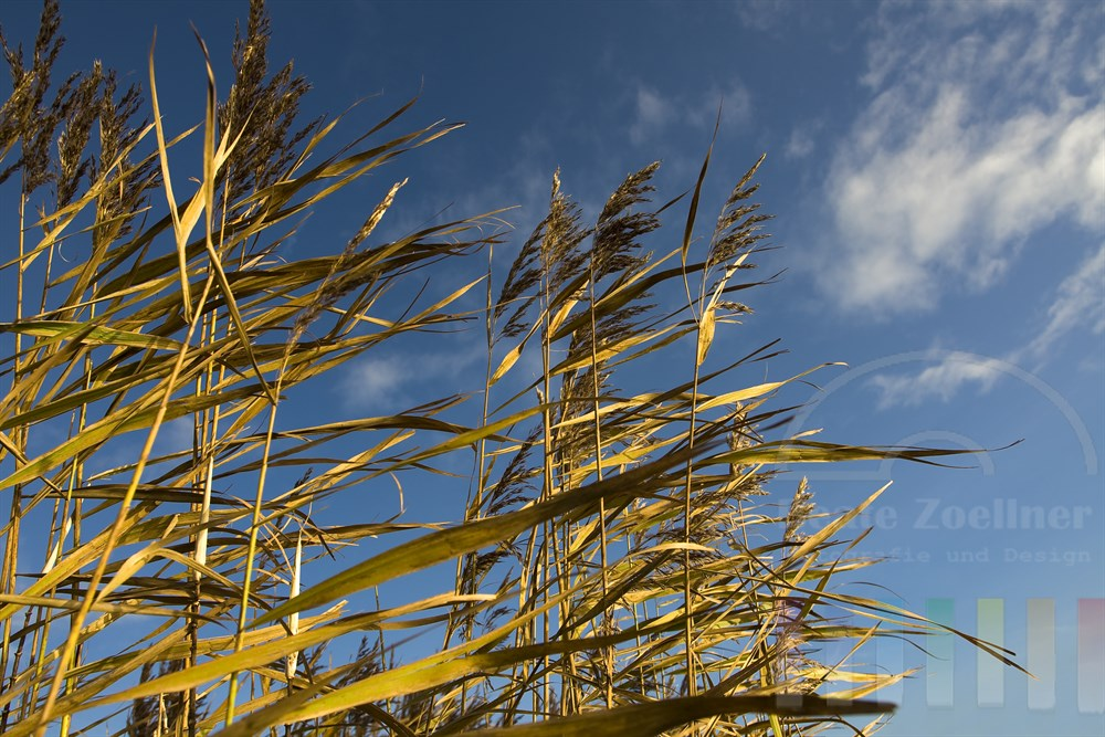 goldene Schilfhalme vor blauem Himmel in der Herbstsonne