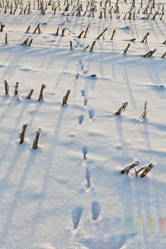 Kaninchenspur auf einem verschneiten Maisfeld, Gegenlicht