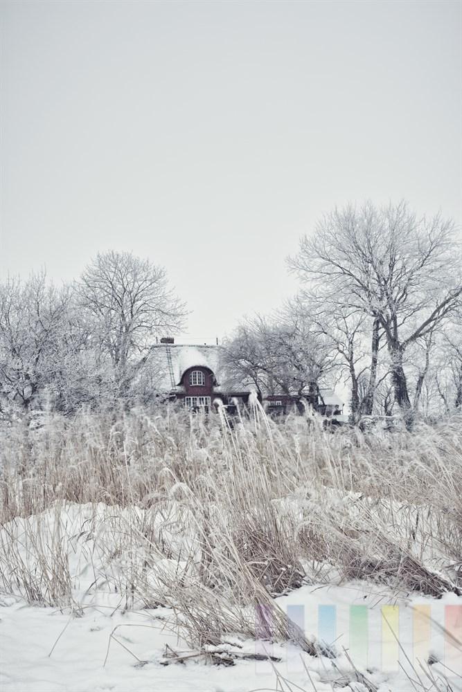 Winterimpression: Verschneites Reetdachhaus unter kahlen Bäumen am Wattenmeer in Keitum/Sylt. Der eisige Ostwind pfeift durch dei Schilfhalme am Ufer