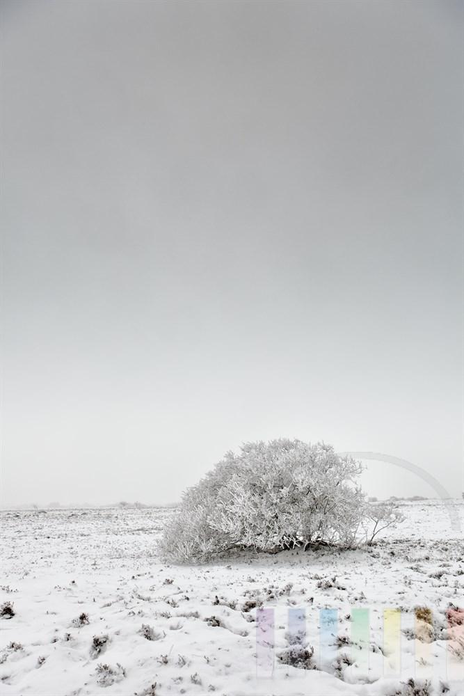 Baum steht in verschneiter Landschaft. Der Nebel hat seine Äste mit Rauhreif überzuckert, Himmel bedeckt