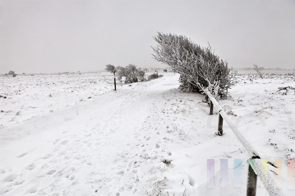 Verschneites Naturschutzgebiet Braderuper Heide auf der Insel Sylt. Spuren der Spaziergänger auf Wanderweg, windschiefer Baum von Raureif bedeckt