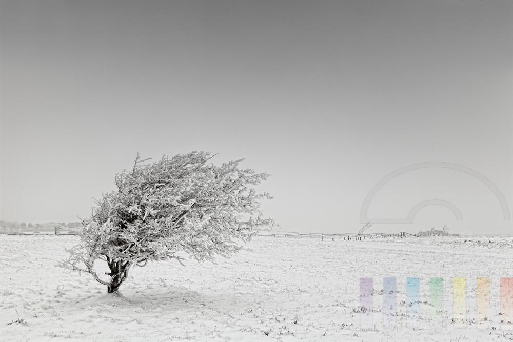 mit Rauhreif bedeckter, windschiefer Baum im Naturschutzgebiet Braderuper Heide auf der Insel Sylt