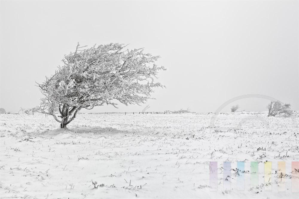 Windschiefer Baum in der Braderuper Heide auf Sylt - erstarrt in Eis und Schnee