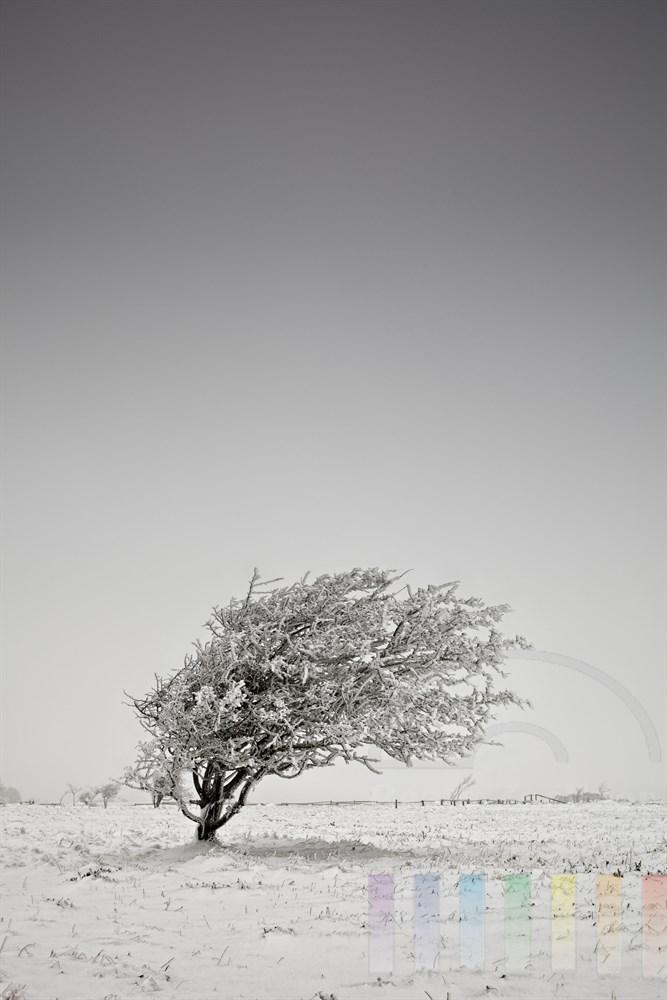 windschiefer Baum in der verschneiten Braderuper Heide/Sylt mit Rauhreif bedeckt - der Baum ist durch den staendig von Westen wehenden Wind in dieser Form gewachsen