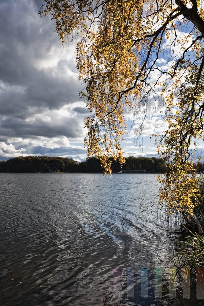 Zweige mit leuchtend gelben Birken-Blättern hängen über dem Wasser des Segeberger Sees, sonnig