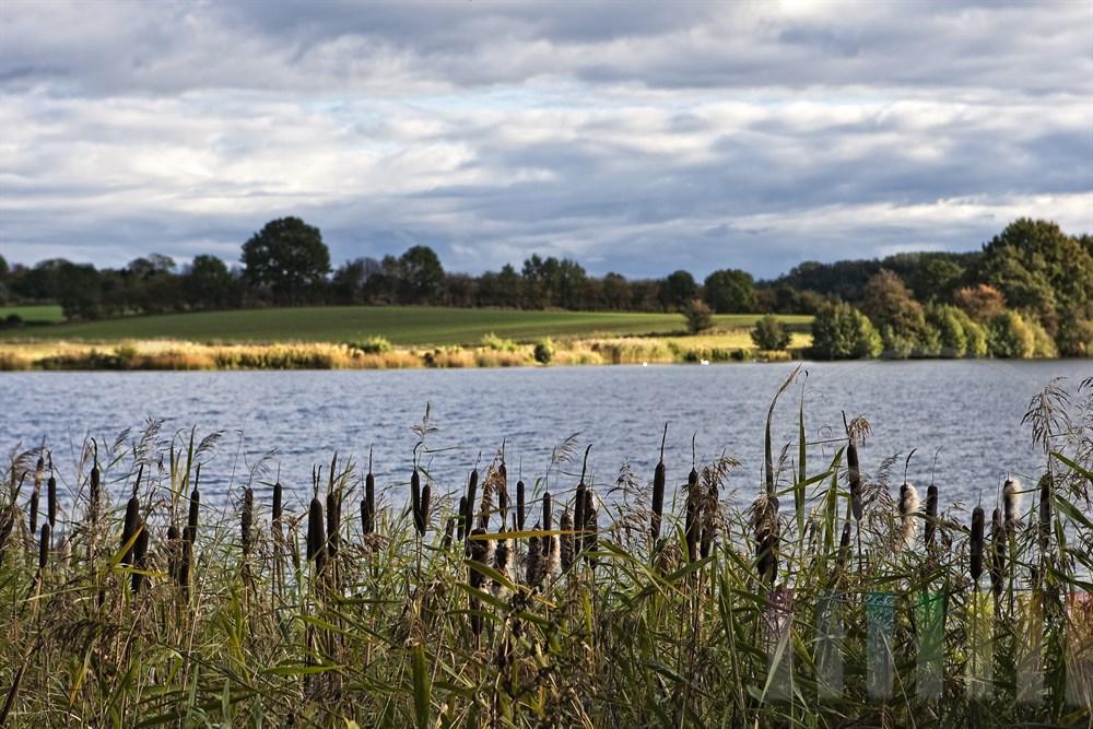 Bluehende Schilfhalme und Schilfkolben bewegen sich im Wind am Ufer eines Sees. Der Himmel ist bewoelkt, aber das gegenueber liegende Ufer wird von der Herbstsonne angestrahlt