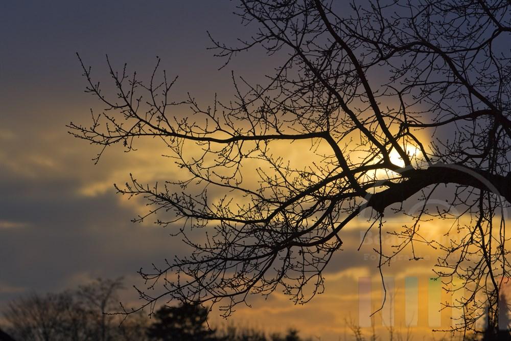 Wintersonne laesst einen Ast einer alten Eiche als Silhouette erscheinen - an den Aesten sind schon wieder Knospen zu erkennen