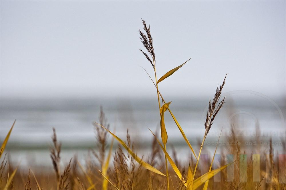 gelbe Schilfhalme ( Phragmites australis) wiegen sich im Wind am Ufer des Sylter Wattenmeeres