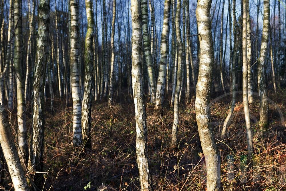 Birkenwald im winterlichen Sonnenlicht