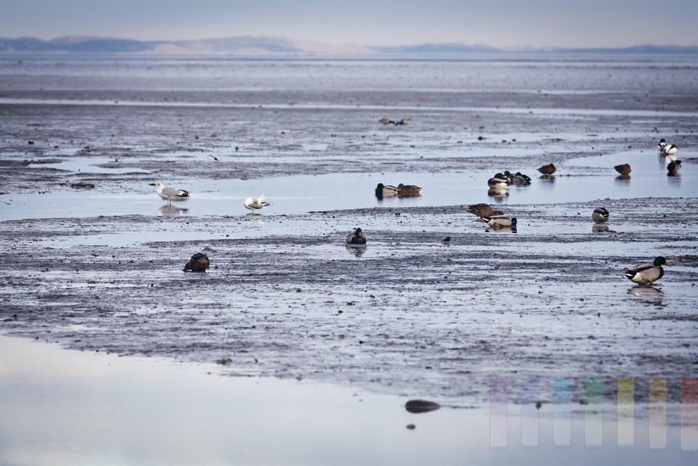 Stockenten, Möwen und Brandenten suchen an einem Winternachmittag im Wattenmeer vor Sylt bei Ebbe nach Nahrung oder ruhen sich aus. Im Hintergrund die Lister Dünen.