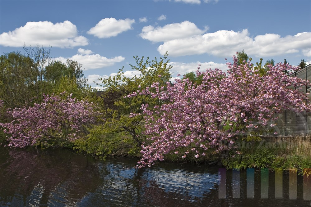 Kirschbaum-Bluete entlang der Dove-Elbe in Hamburg Curslack, sonnig
