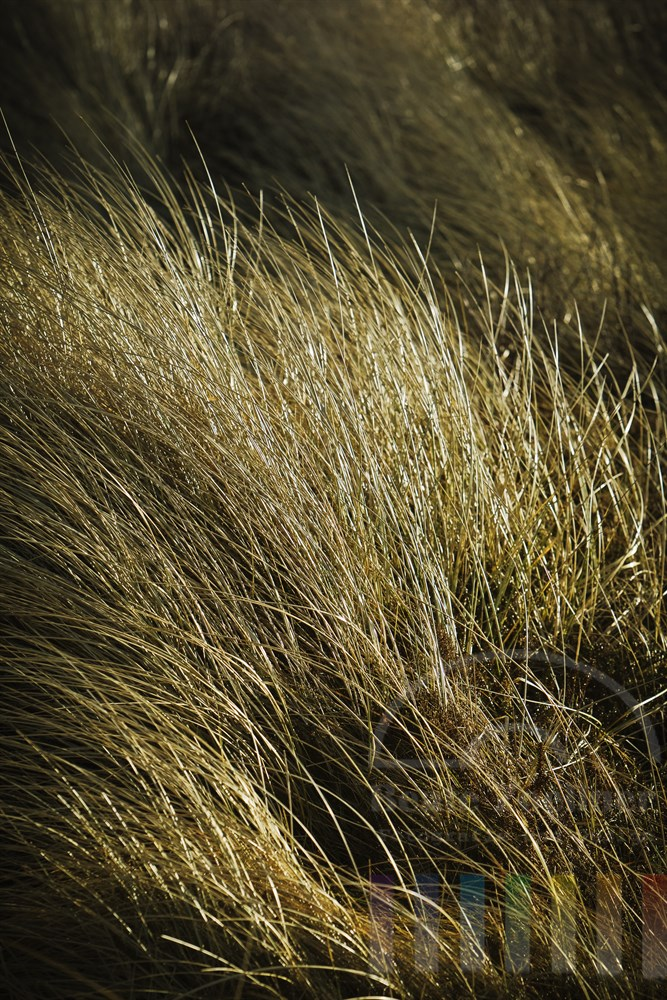 Duenengraeser im Sonnenlicht, Wind bewegt die Halme