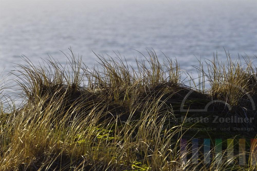 Duenengras am Rande eines Kliffs auf der Insel Sylt bewegt sich im Wind und reflektiert das Sonnenlicht