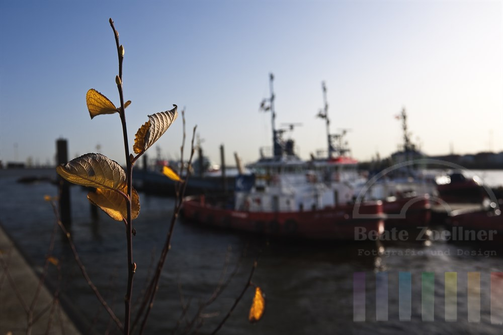 letzte herbstlich verfärbte Blätter an der Kaimauer in Hamburg-Neumühlen. Im Hintergrund liegen die Schlepper im November-Sonnenlicht