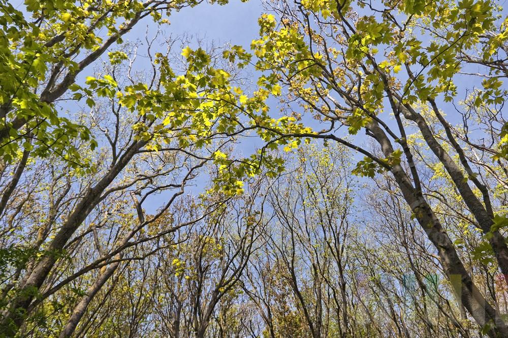 Blick an Baumstaemmen hoch zum noch spaerlich-gruenen Blaetterdach, blauer Himmel, sonnig