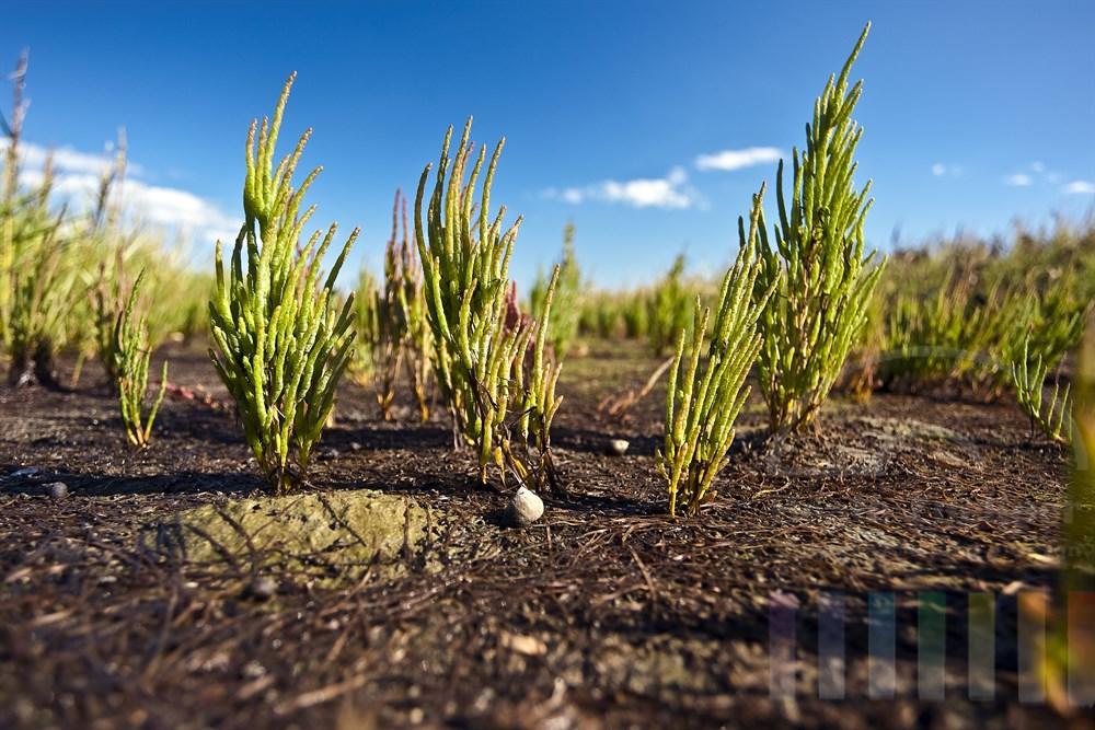 Queller (Salicornia) waechst auf den salzhaltigen und immer wieder von der Flut ueberspuelten Boeden des Wattenmeeres, sonnig, Bodenperspektive