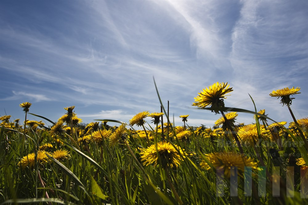 gelb blühender Löwenzahn auf Wiese vor blauem Himmel, leichtes Gegenlicht