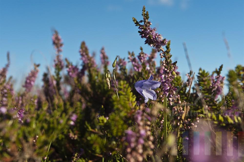 Bluehende Heide und Glockenblume in der Braderuper Heide/Sylt, tiefe Perspektive, sonnig